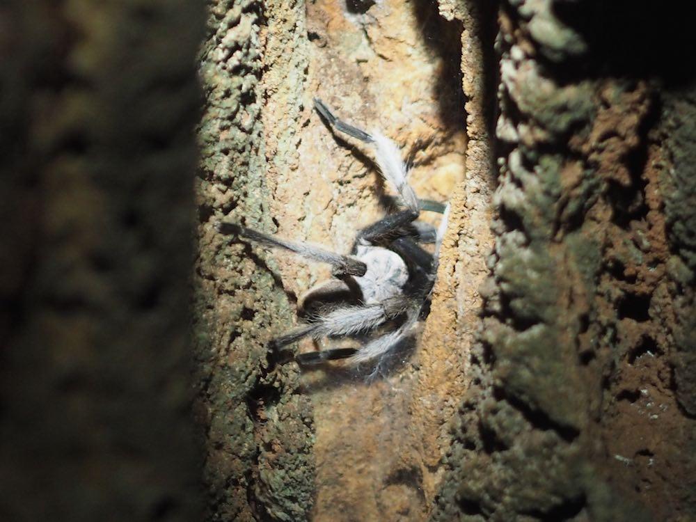 Cave dwelling tarantula