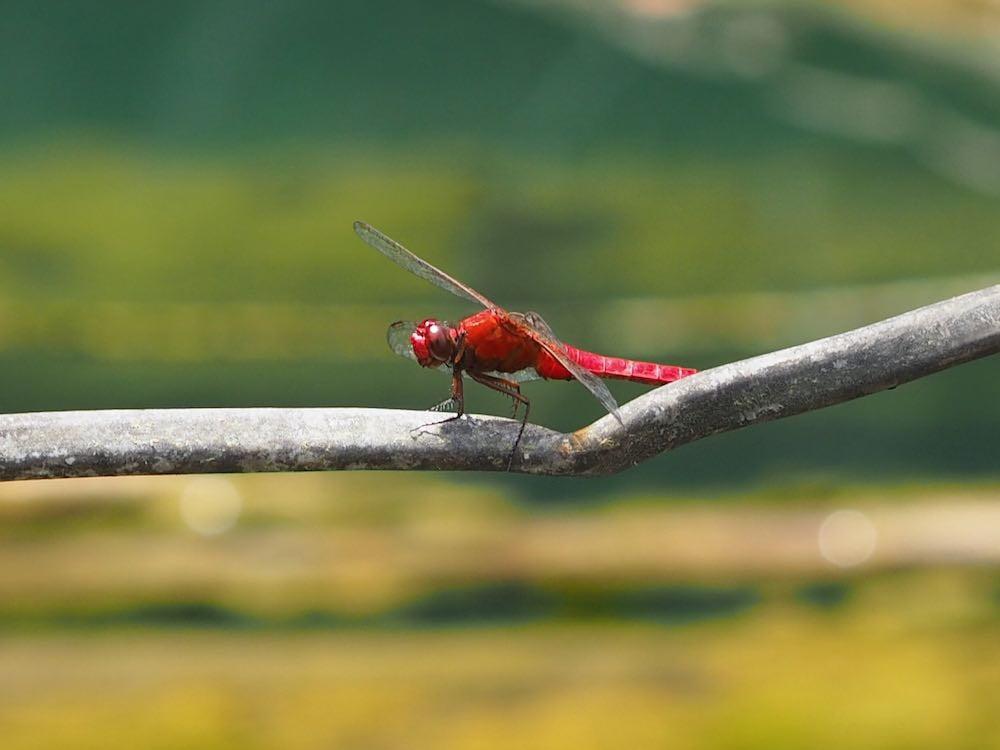 Dragonfly in Khao Sok