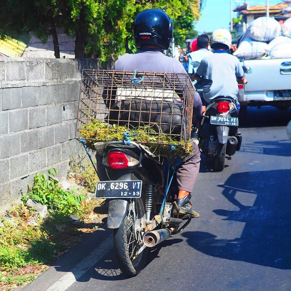Piglets transported on the back of a bike