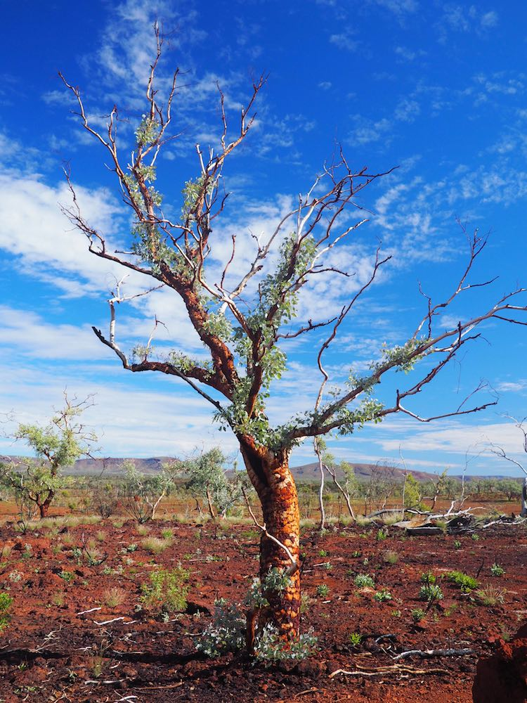 A bloodwood tree