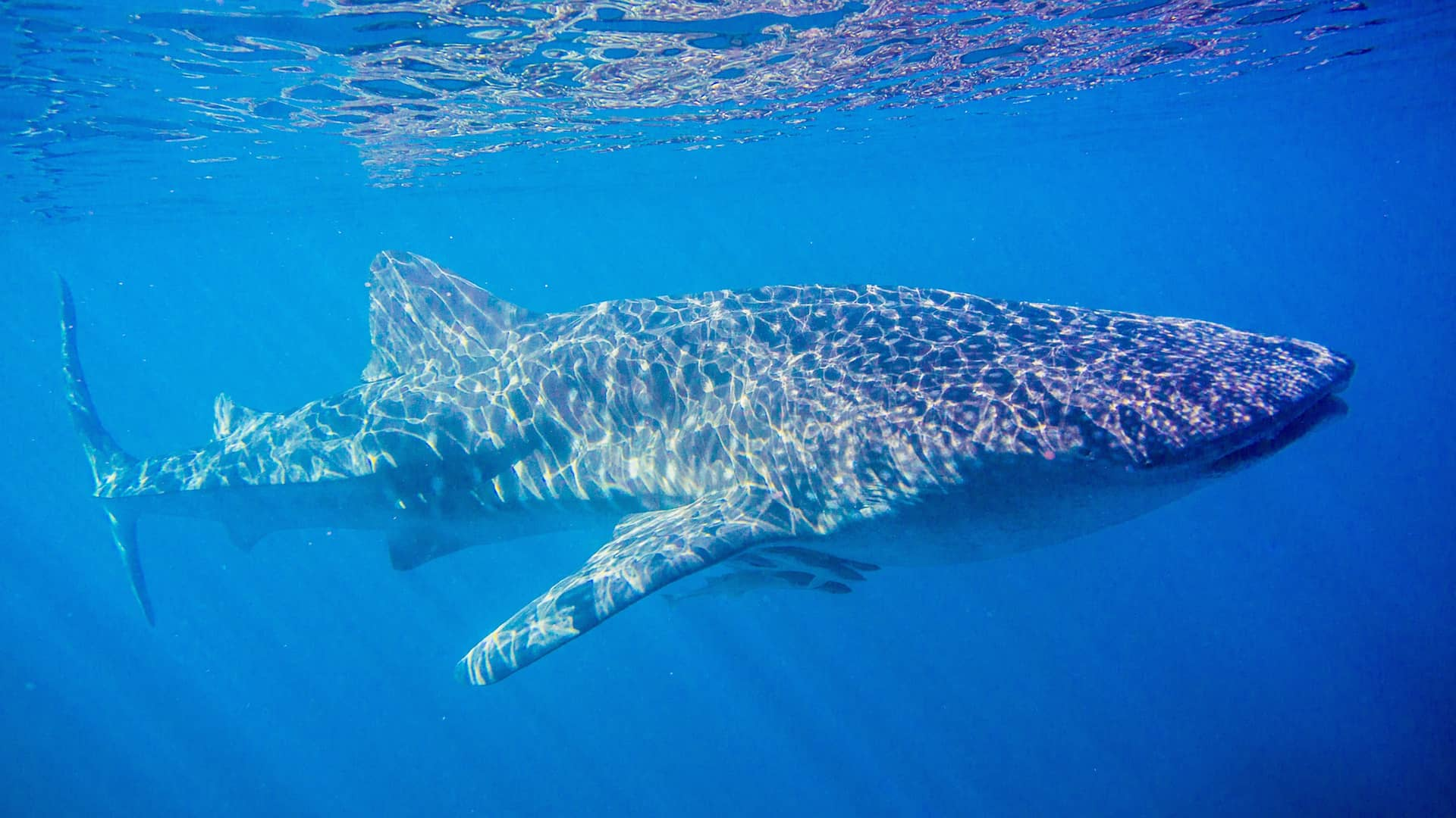 SWIMMING IN A WHALE SHARK WONDERLAND