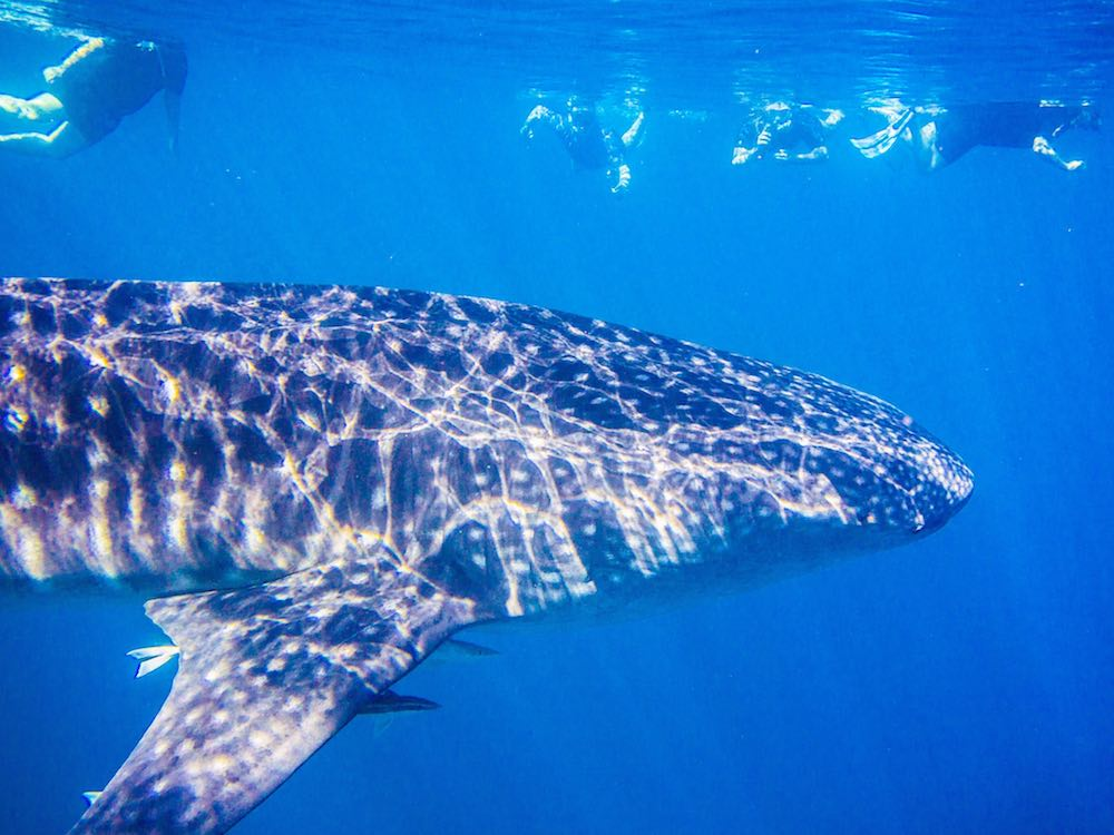 Our small group swims alongside the whale shark