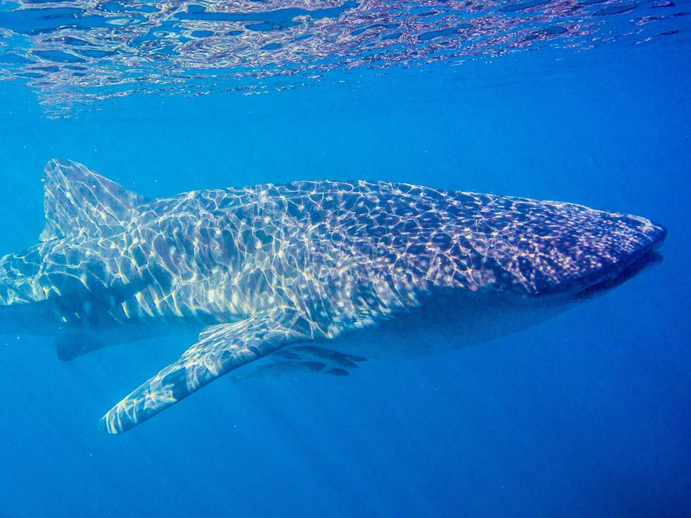 A whale shark passes by