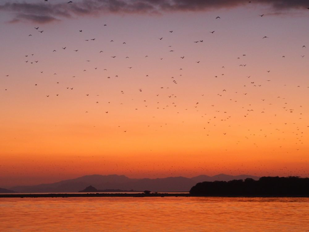 Hundreds of thousands of bats take flight at sunset near Kalong Island