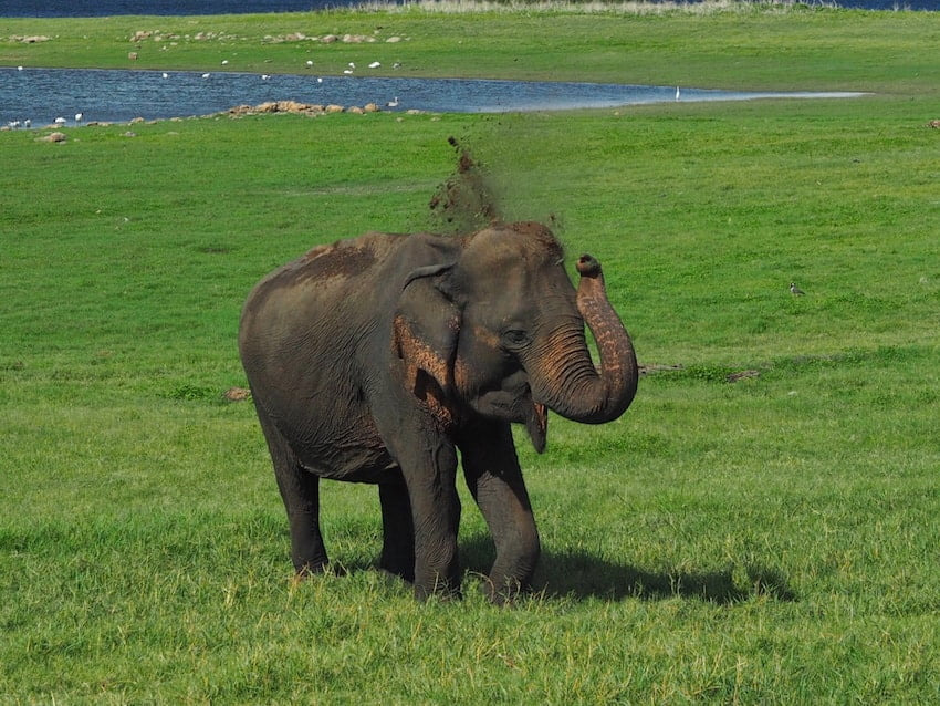 Elephant showering in dirt, Minneriya National park