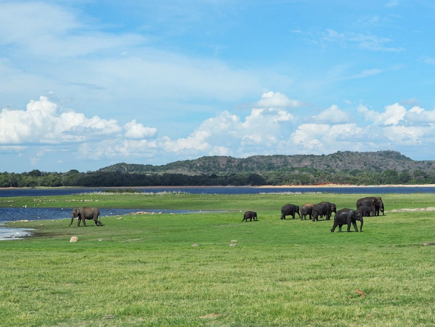 Elephants at Minneriya National Park, Sri Lanka