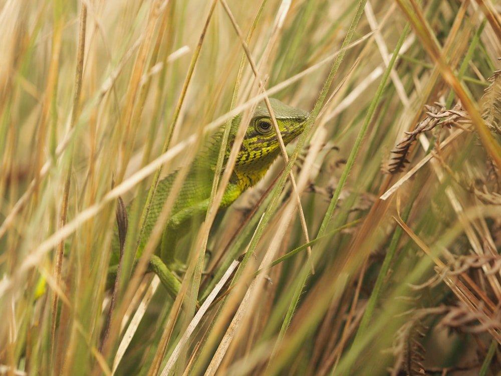 A lizard among the long grass