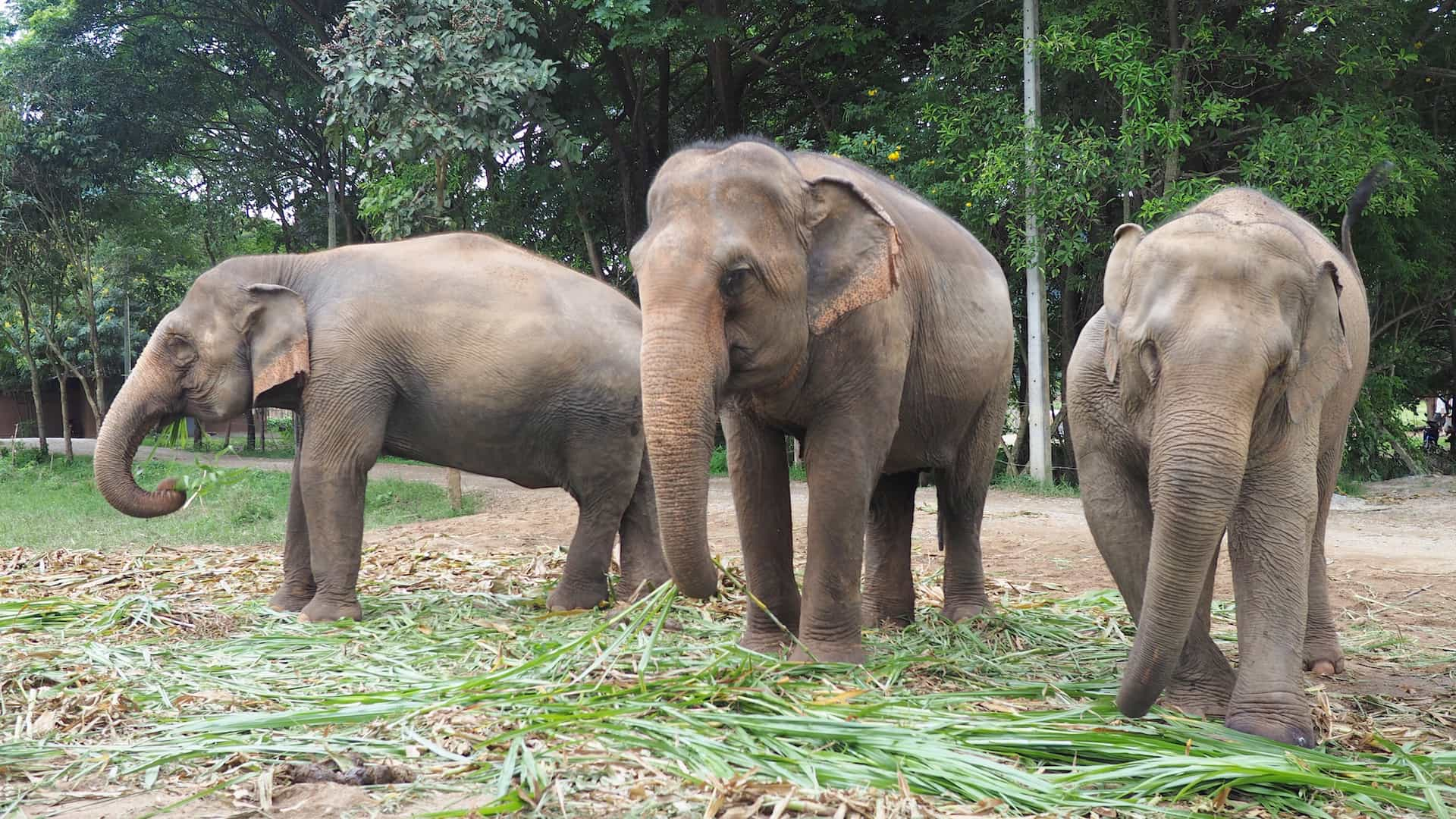 THERE'S STILL HOPE FOR THE ELEPHANTS OF CHIANG MAI