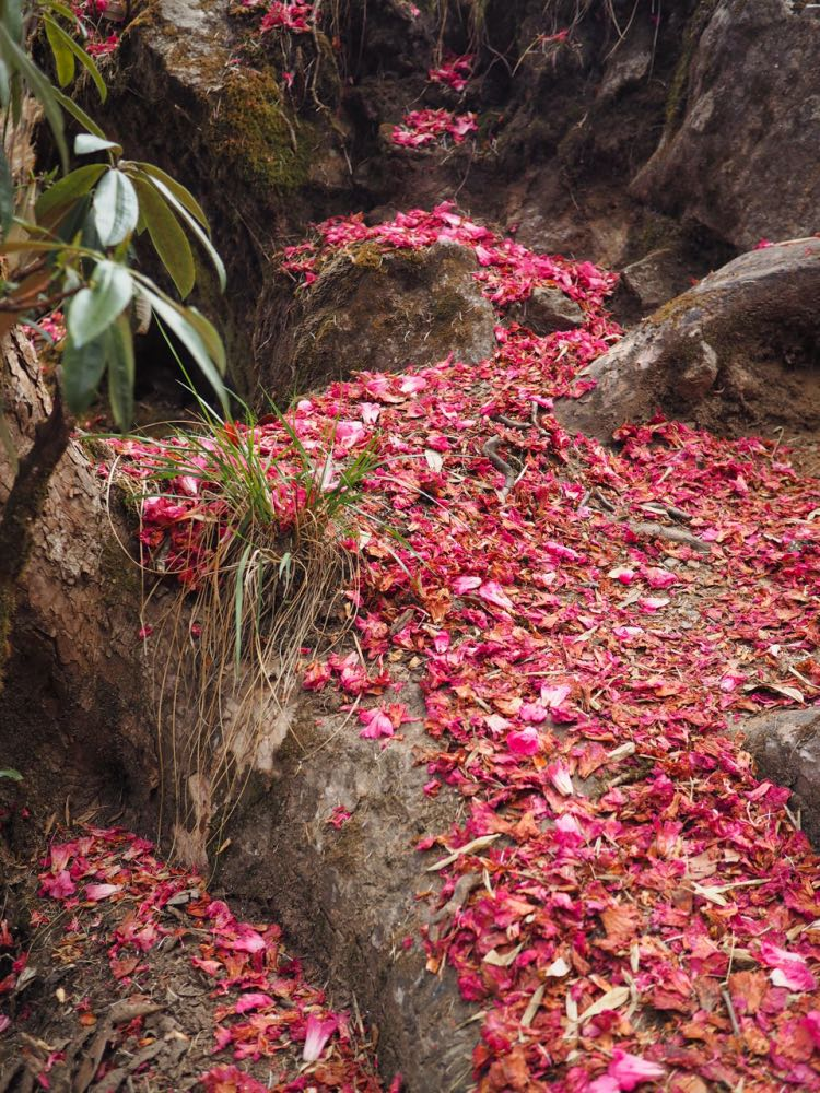 Petals carpeting the trail