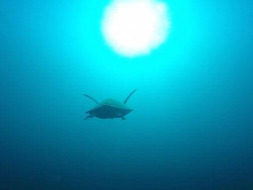 The Turtles Of Apo Island