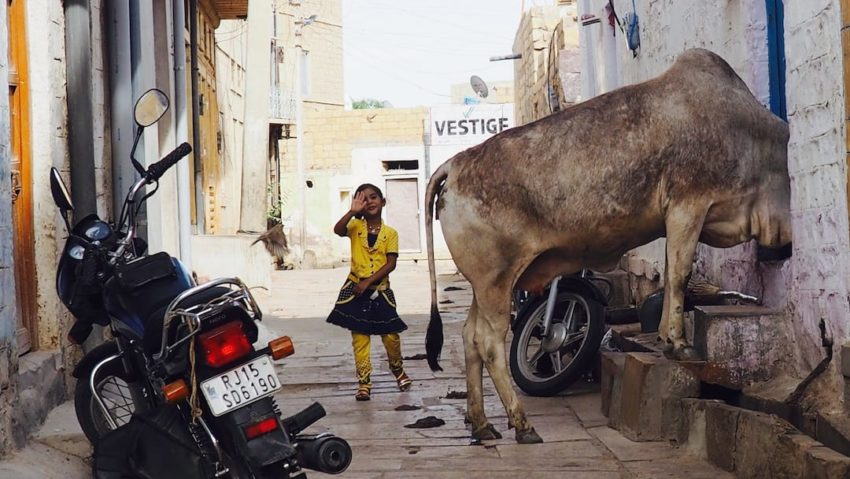 When a sacred cow comes to visit, Jaisalmer, Rajasthan