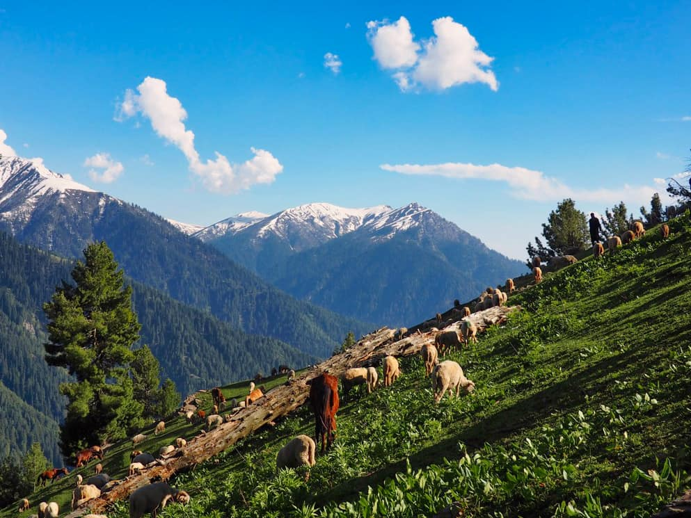 Sheep and horses graze in the Kashmir Valley