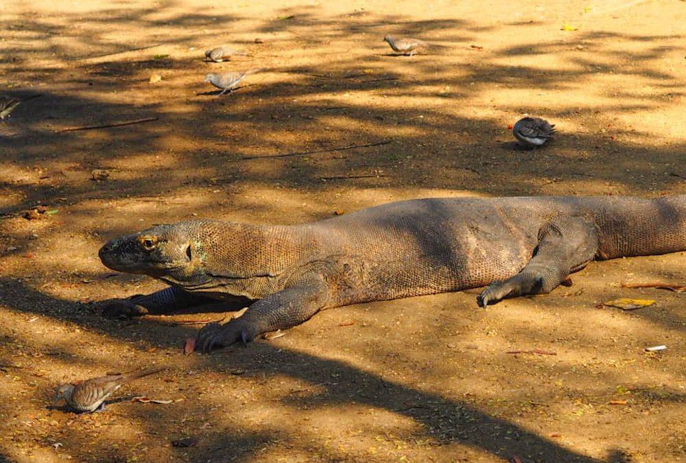 Dragons, Mantas And Flying Foxes In Komodo National Park