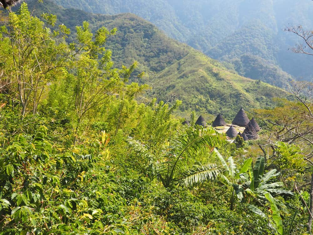 Fest view of Wae Rebo's conical houses from trail