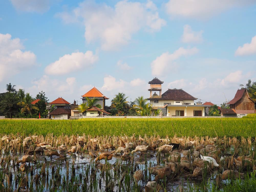 Rice Fields - Authentic Bali