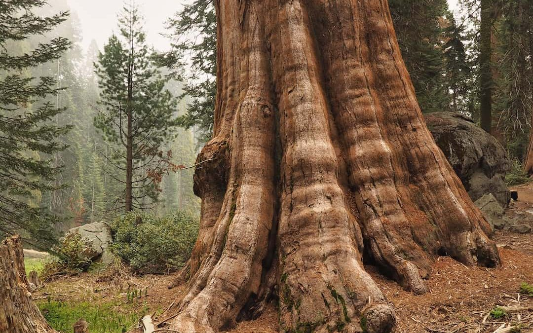 The Giant Trees Of Sequoia National Park