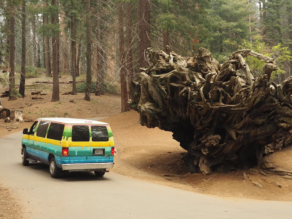 Our van passes by an overturned tree, Sequoia National Park