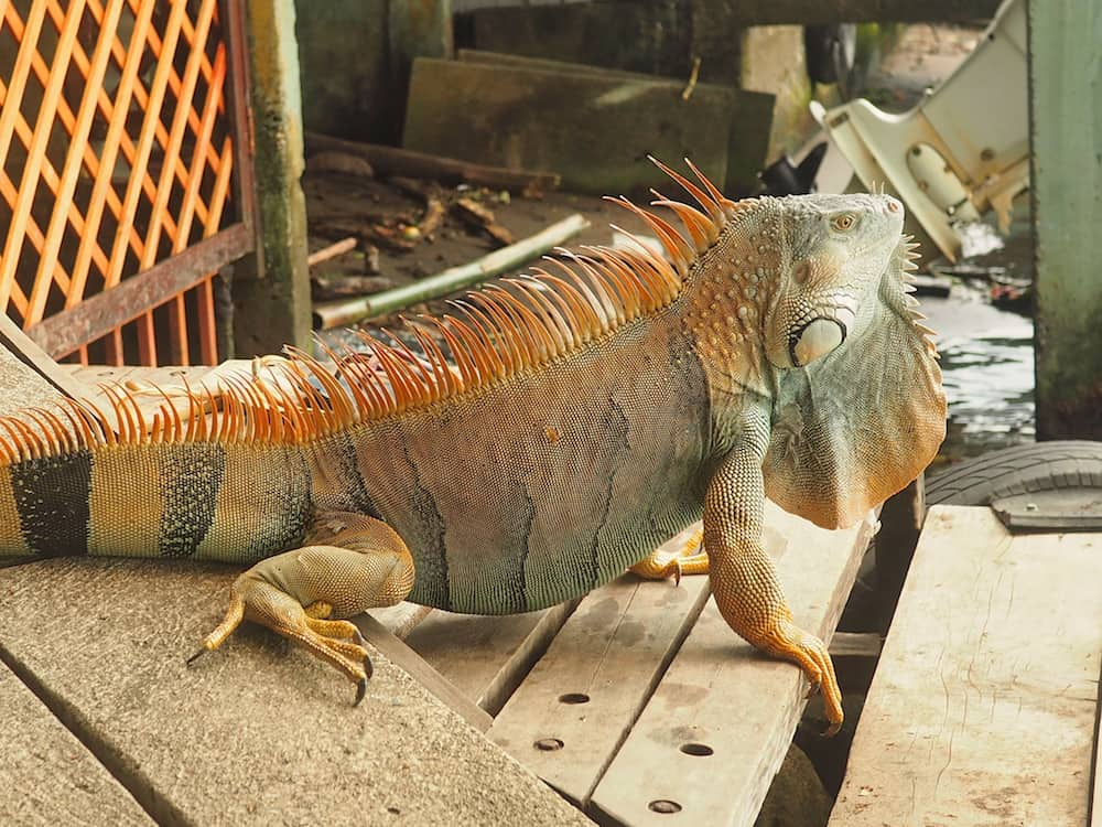 An iguana wanders through our guest house in Tortuguero