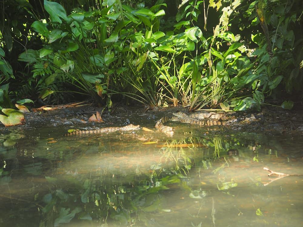 Juvenile caimans in Tortuguero National Park