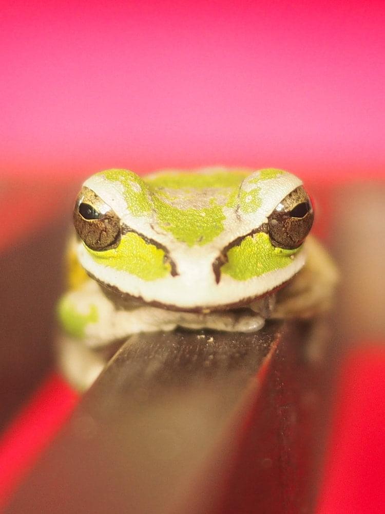 A green frog, Cristobal Island, Bocas del Toro
