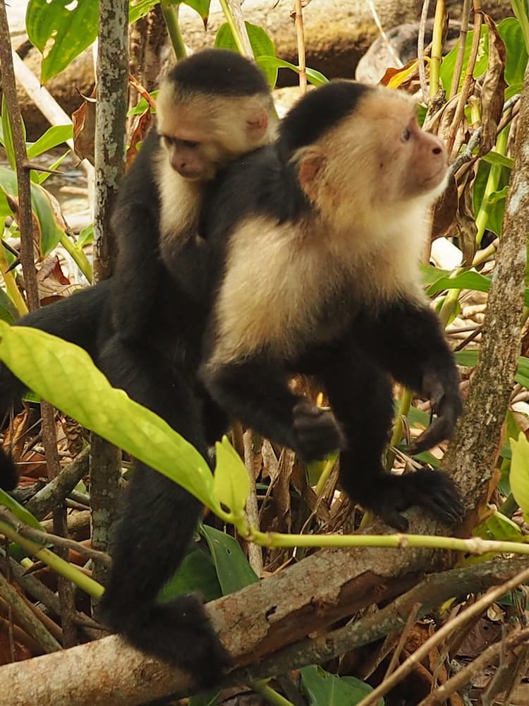 White-Faced Capuchin Monkeys in Cahuita National Park