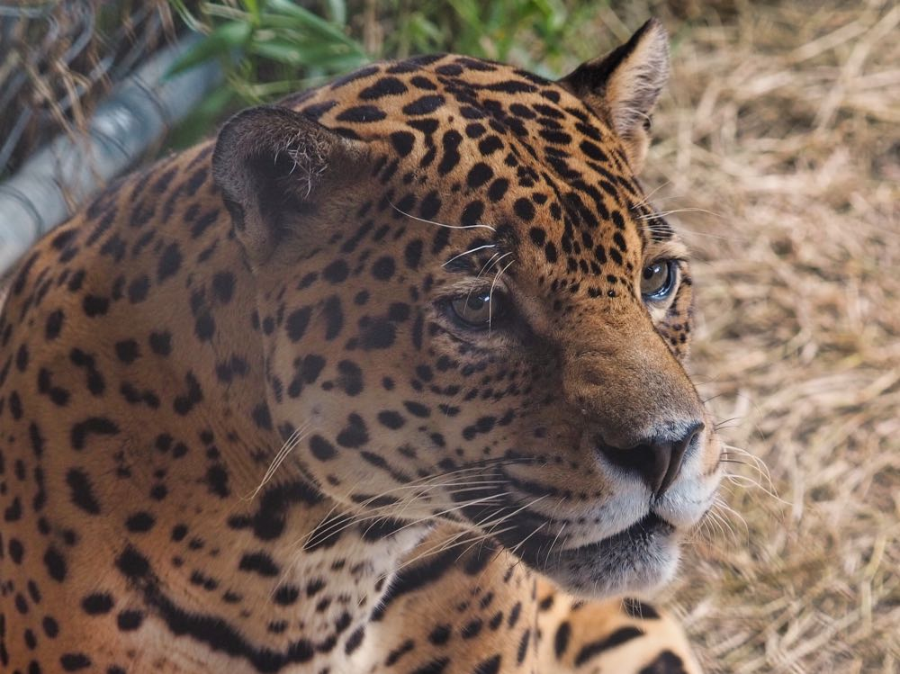 Roscoe the jaguar