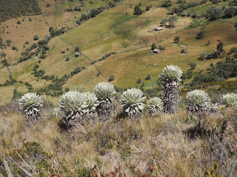 Frailejones on the hillside