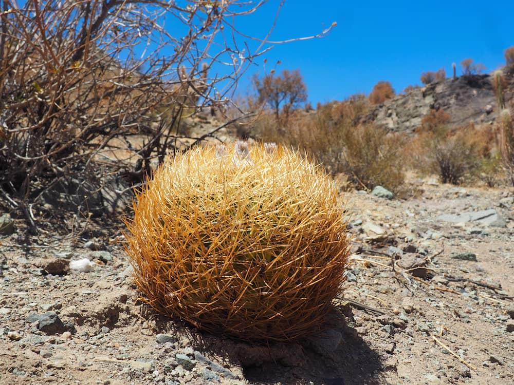 A golden ball cactus