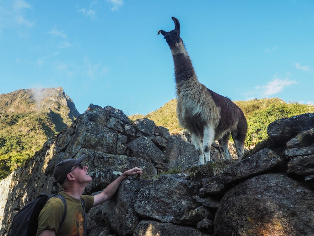Llama at the start of the Machu Picchu Mountain trail