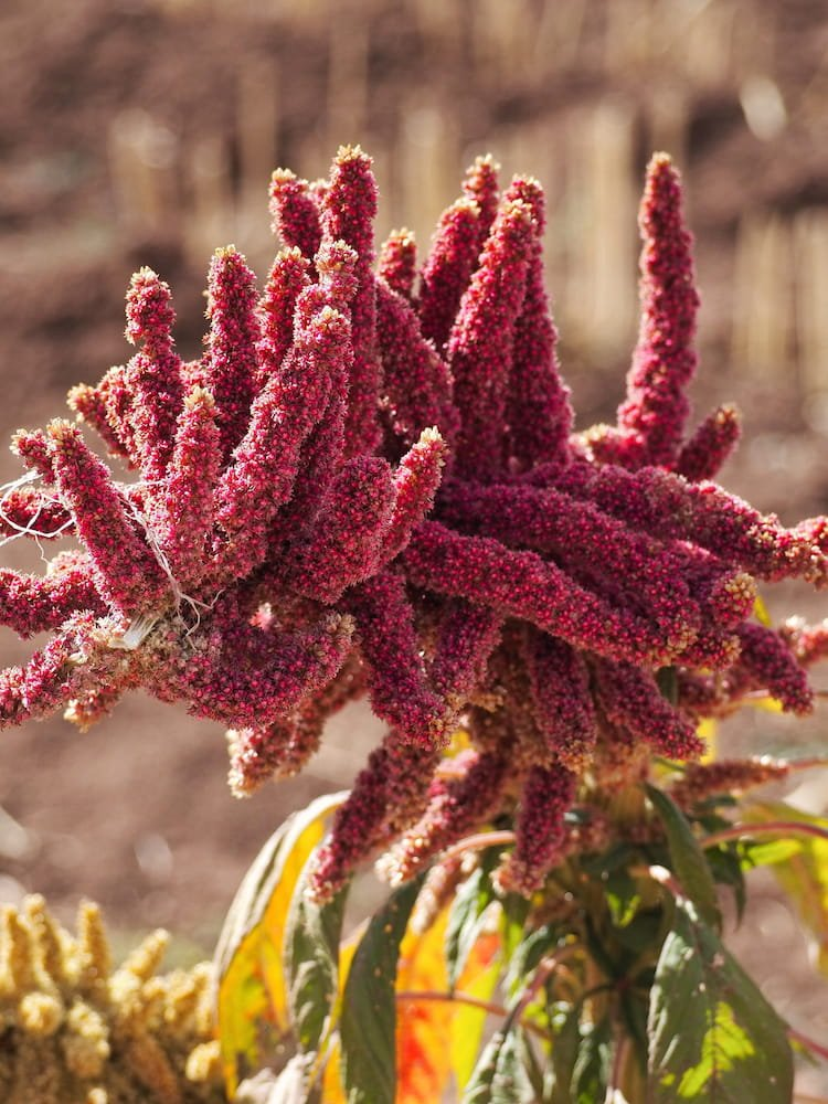 Red quinoa plant in the Sacred Valley
