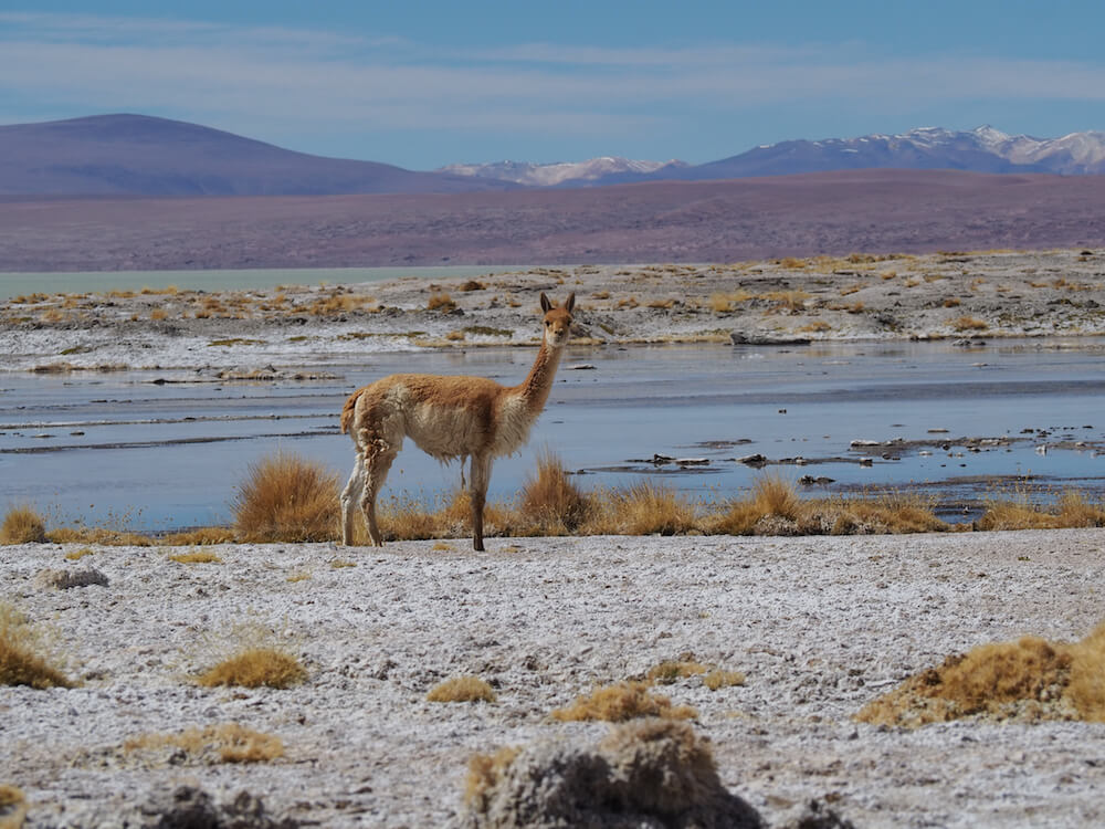 A vicuna stares at the camera