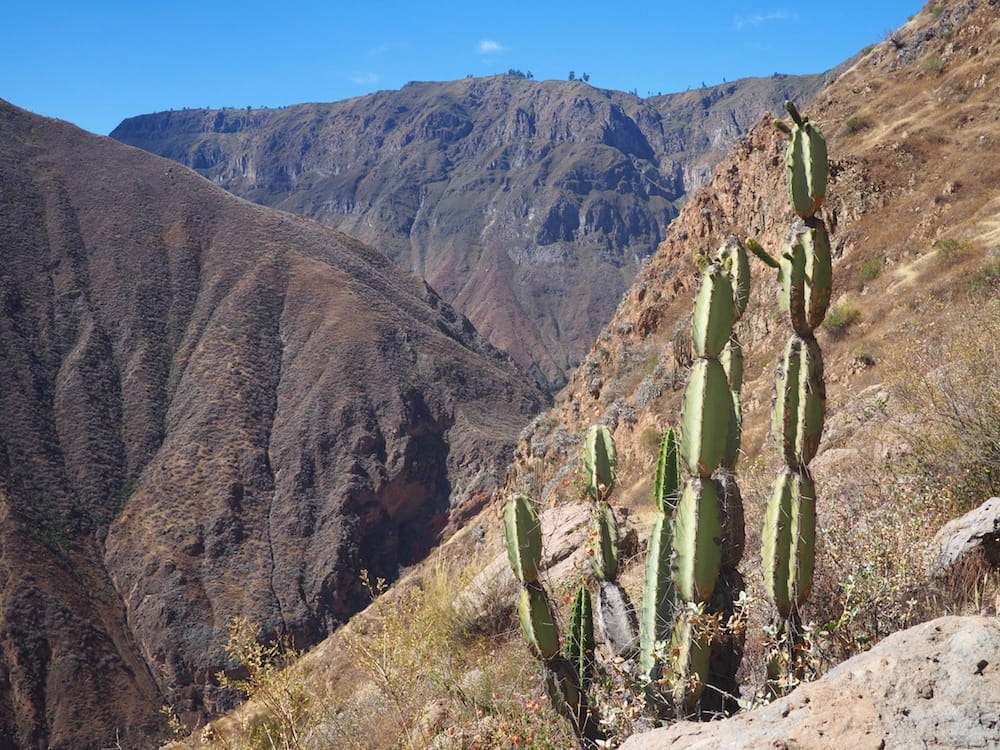 A lone Cactus from the Colca Canyon in Peru