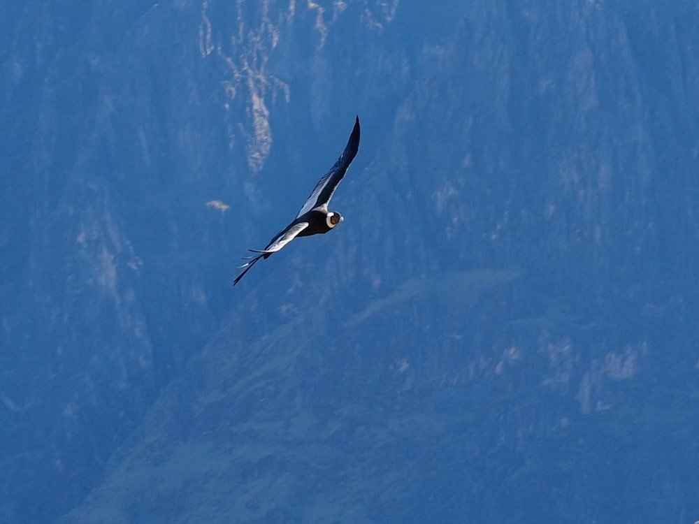 An Andean Condor soars above the canyon