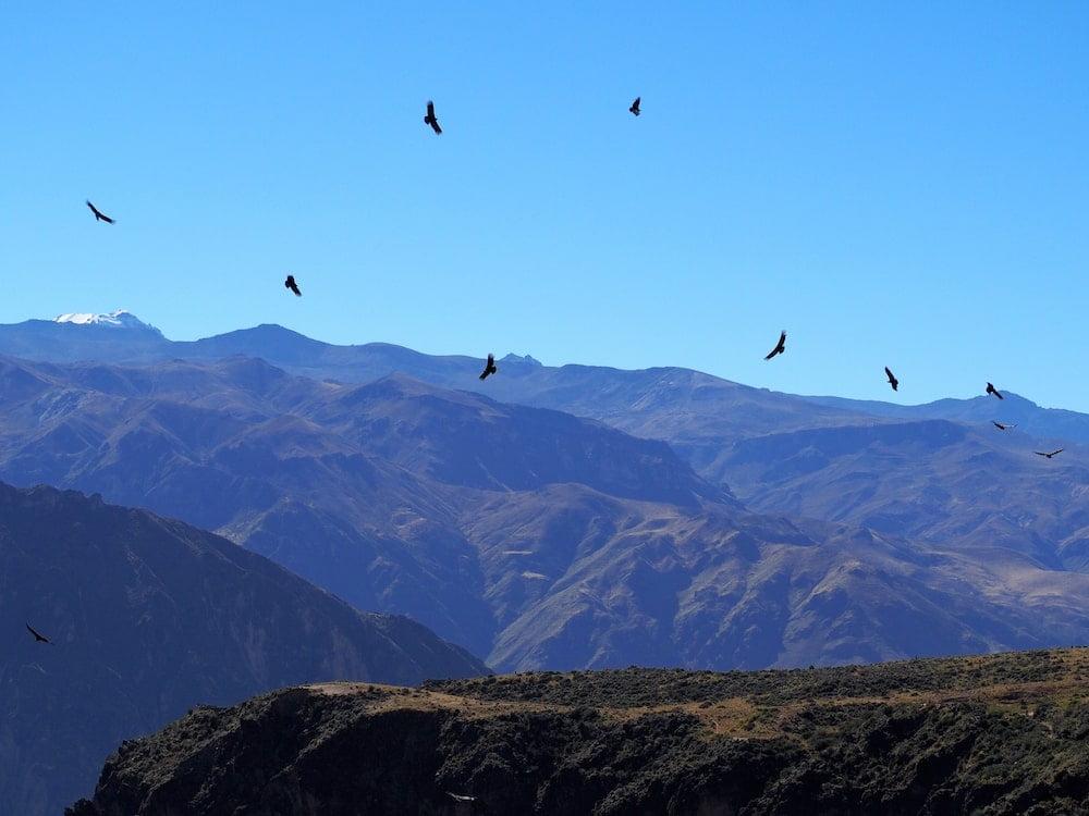 Lots of condors