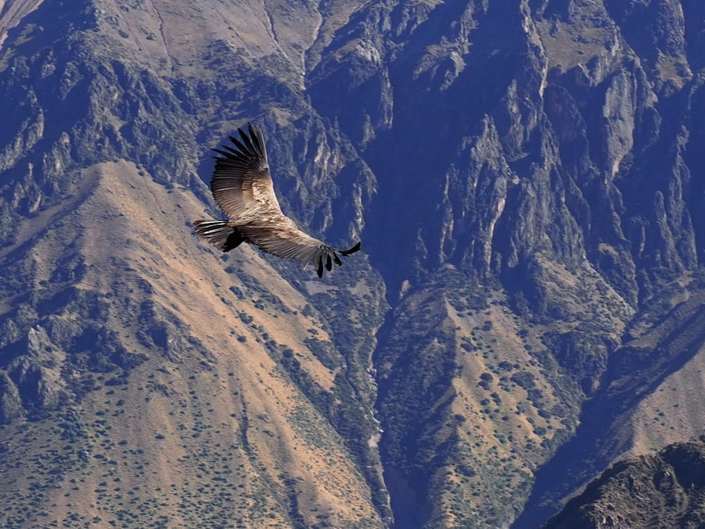 A condor flies directly below the viewing point
