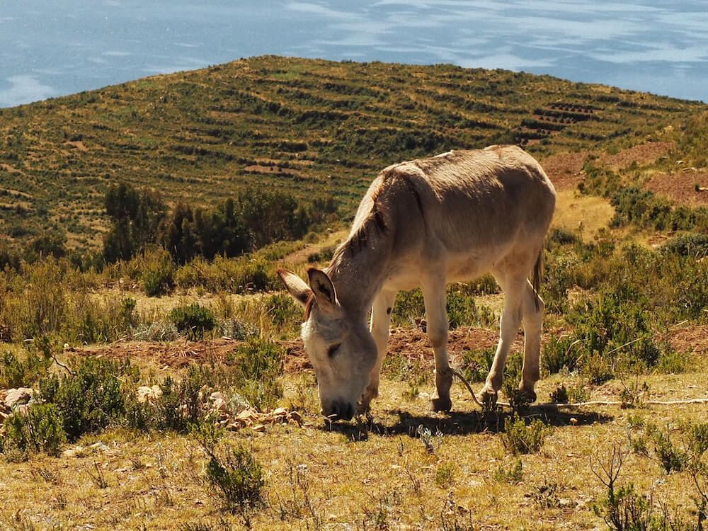 A donkey takes a break from working in the field