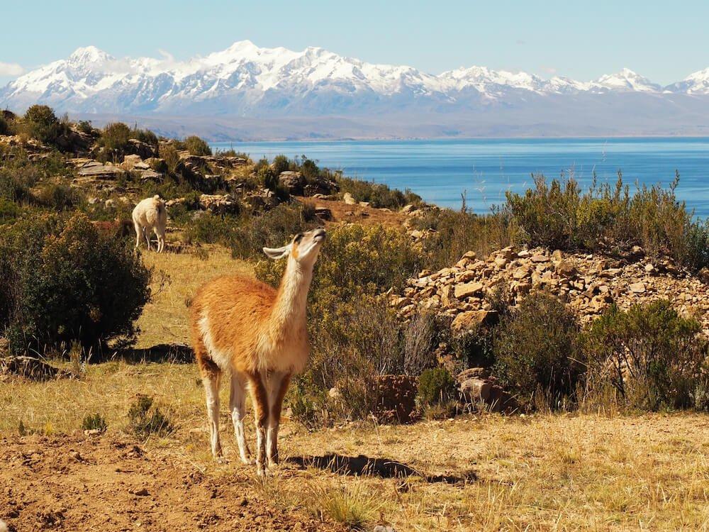 A working llama