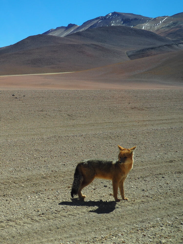 An Andean fox
