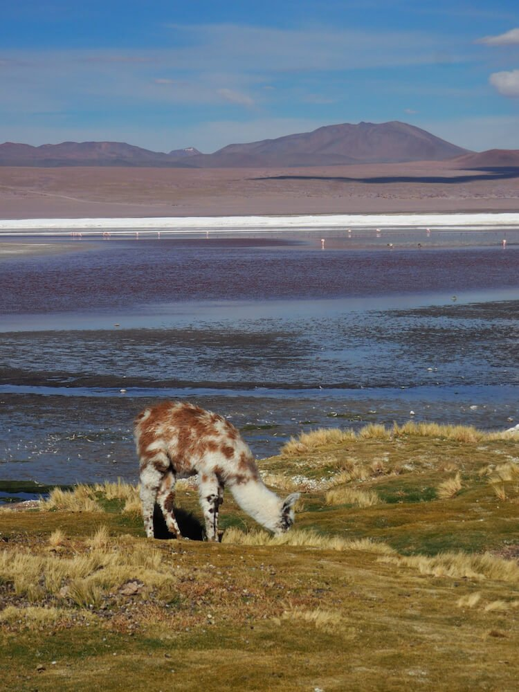 Baby llama in foreground and pink lake with plateau-shaped mountain in the background