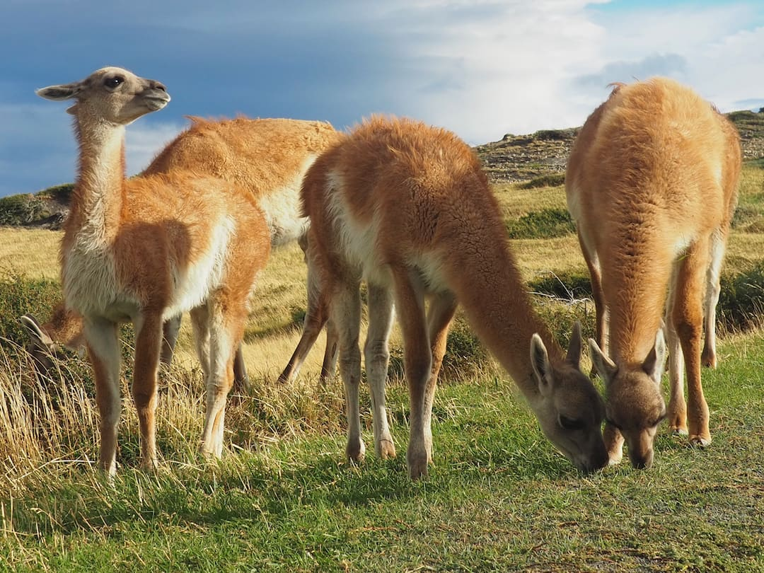 A group of guanacos