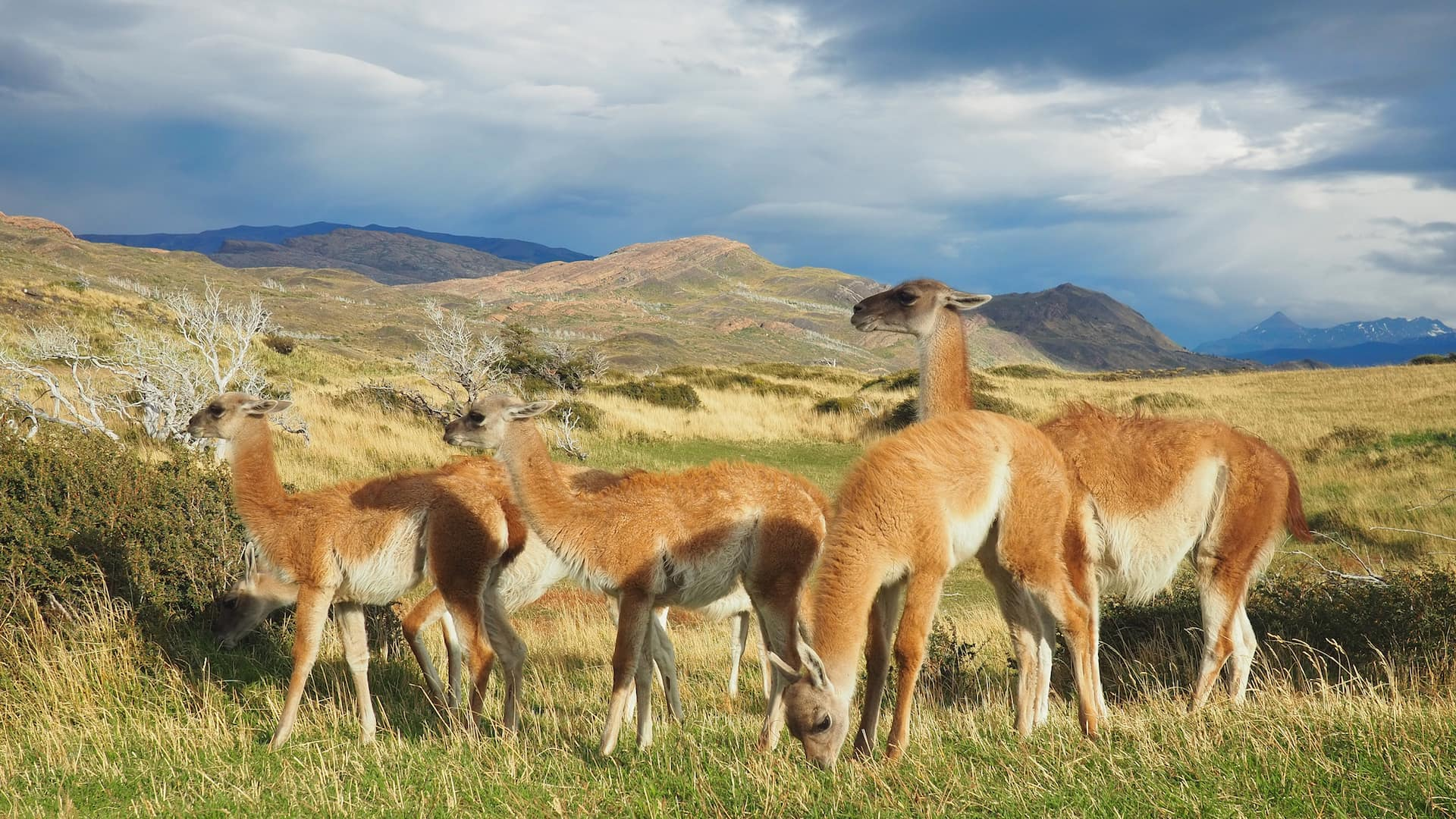 Guanacos grazing beside the trail