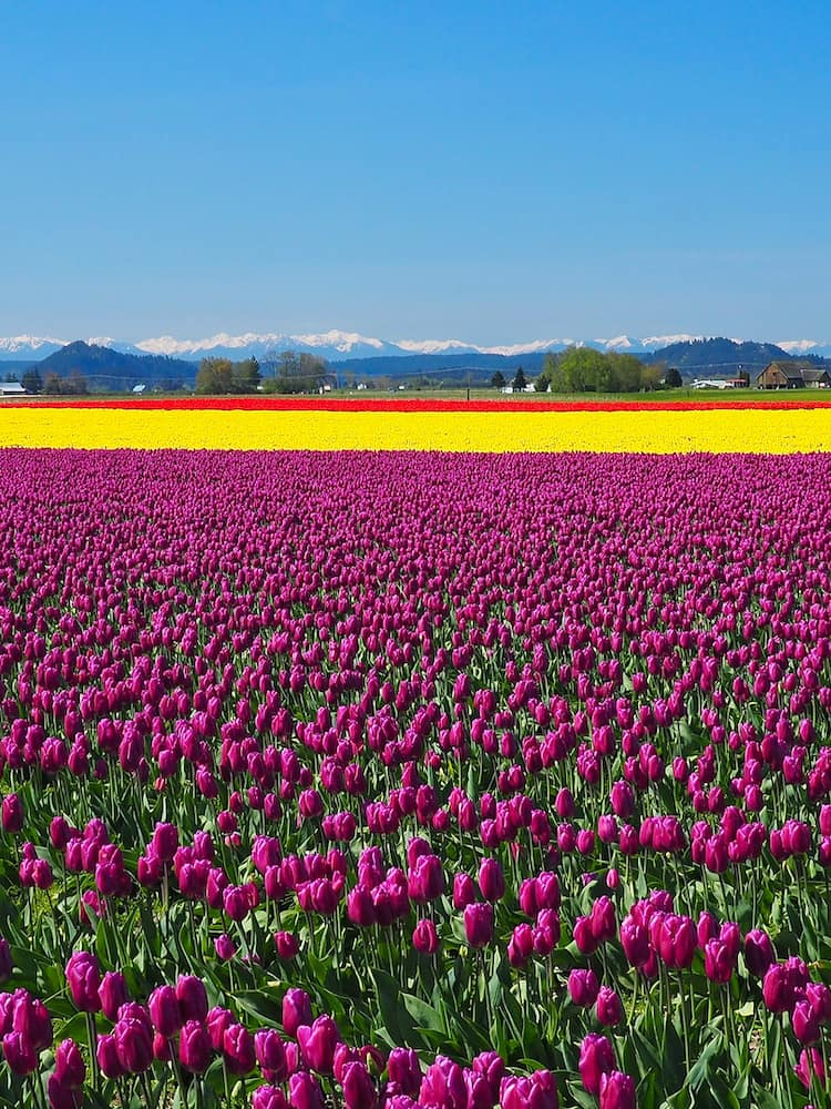 Multicoloured flowers at the Skagit Valley Tulip Festival