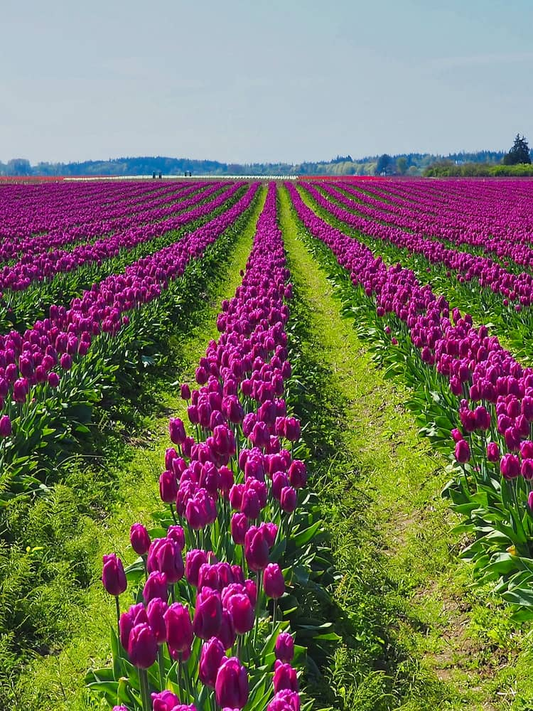 Rows of purple tulips