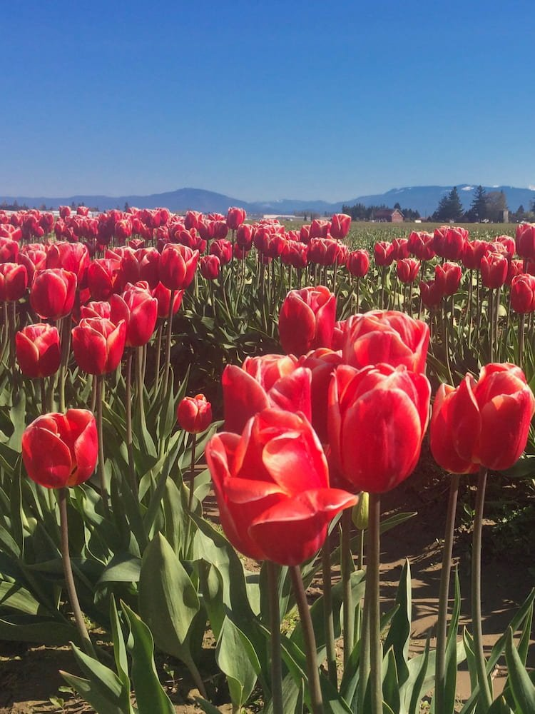 Red flowers at the Skagit Valley Tulip Festival