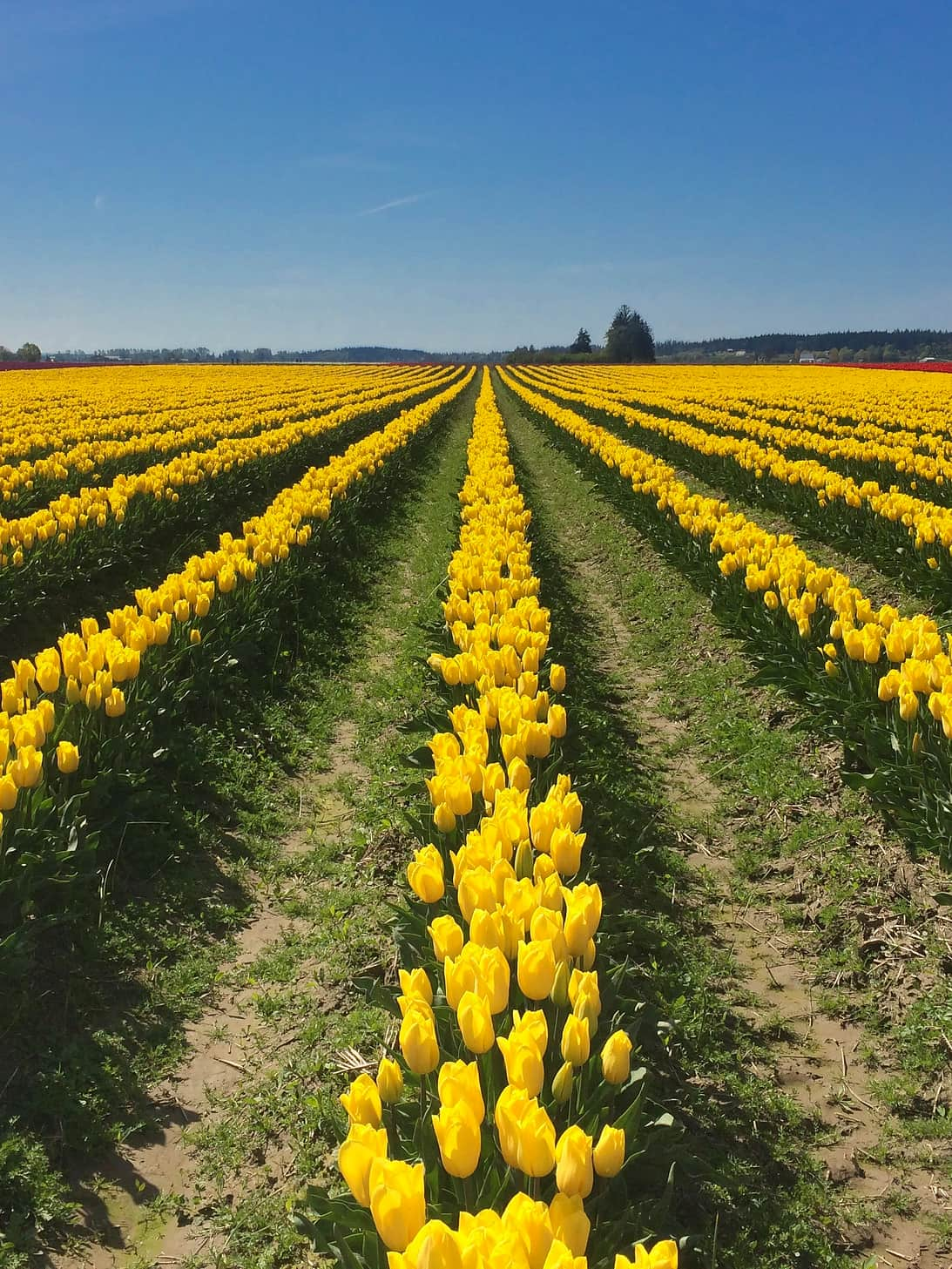 Yellow flowers at the Skagit Valley Tulip Festival