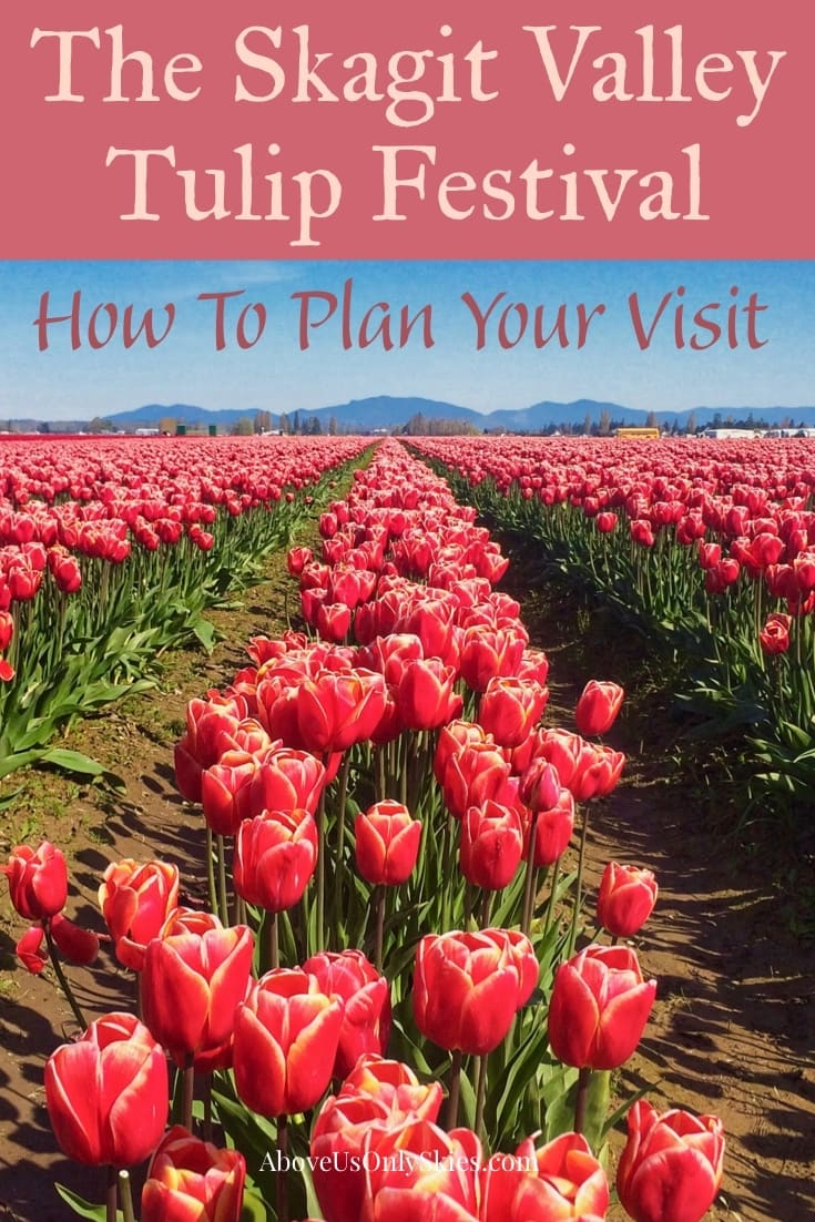 In Washington's far northwest, the Skagit Valley Tulip Festival announces its arrival every year with a burst of vivid spring colours. Here's what to expect when you visit #skagitvalley #tulips #springflowers #spring #tulipfields #tulipfestival #pacificnorthwest #smalltowntravel #pnw #flowers #flowering #bulbs #usatravel #washingtonstate