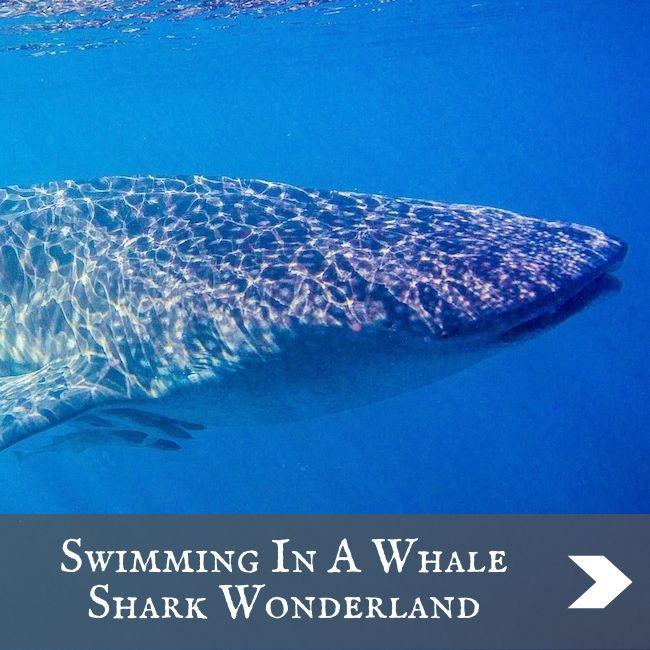 AUSTRALIA - Whale shark