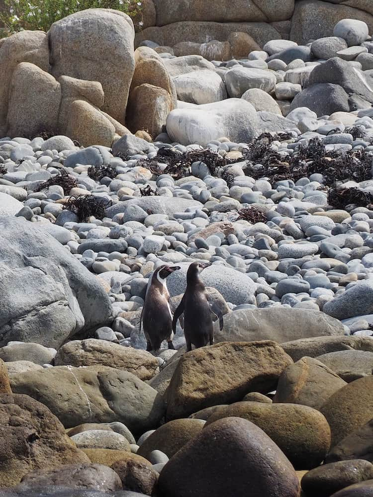 Two penguins standing together looking away from the camera