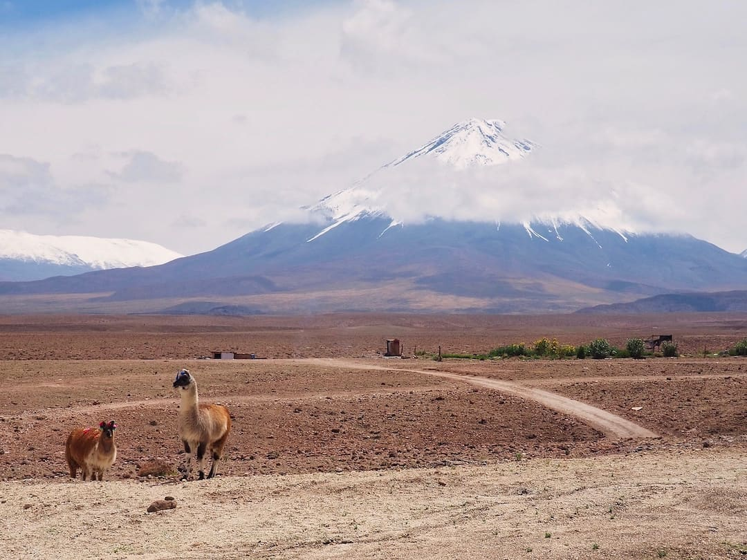 Alpacas in Atacama Desert with a snow-capped volcano in the background