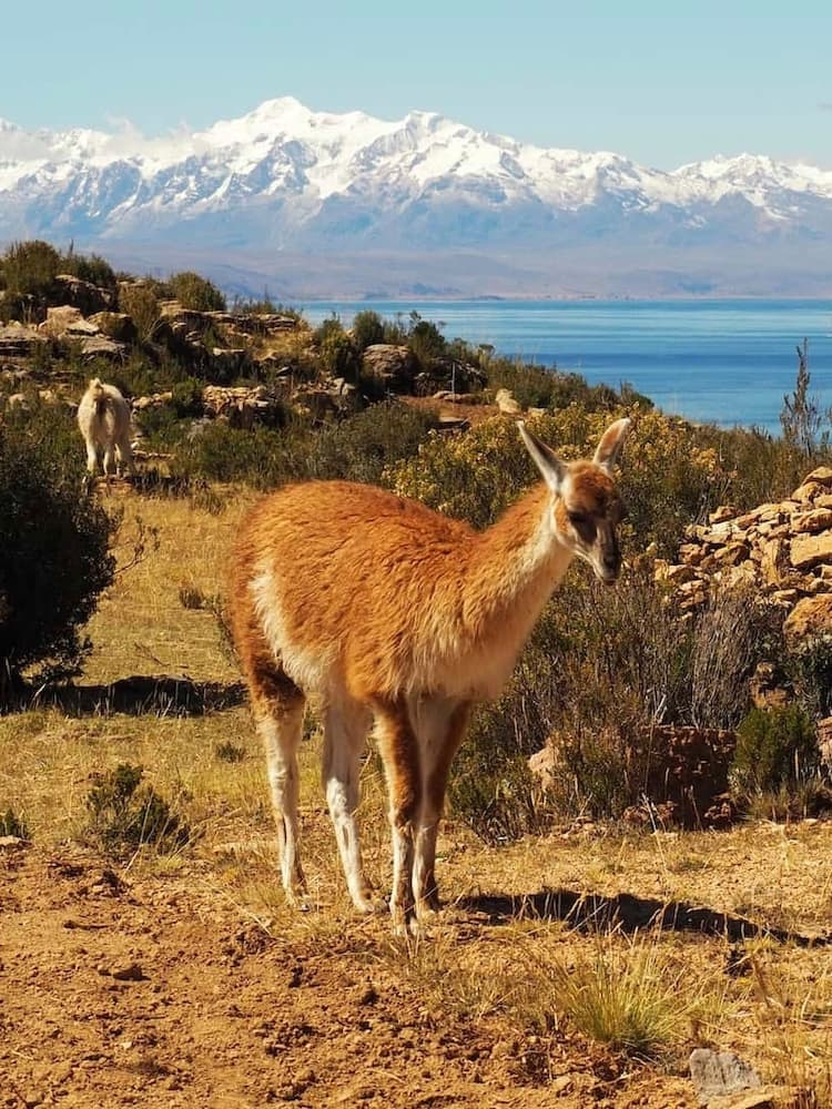 A deer-like animal (vicuña) stands on farmland with a lake behind and snow-capped mountains in the background